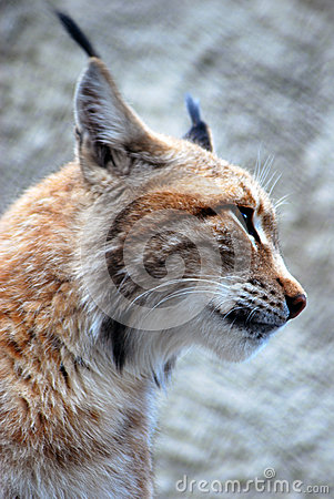 Lynx rufus profile portrait