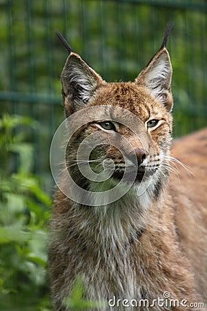 Lynx sibérien