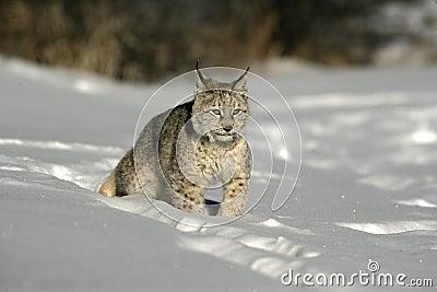 Lynx sibérien, lynx de Lynx