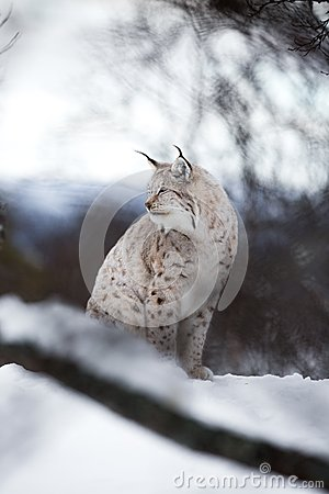 Lynx sits in the snow