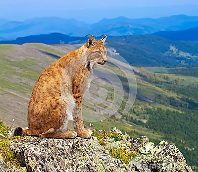 Lynx sits in wild area