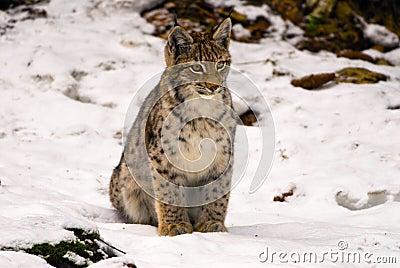 Lynx sitting in snow