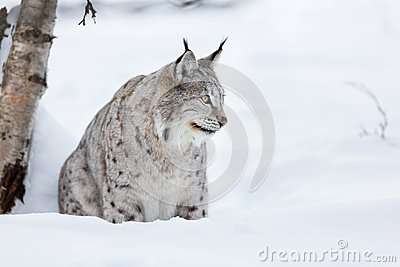 Lynx sitting in the snow