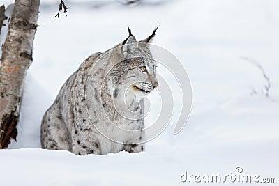 Lynx sitting in the snow