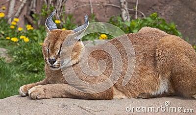 Lynx sleeping