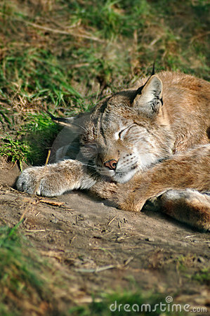 Lynx sleeping off the hunt