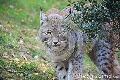 Lynx sneaking