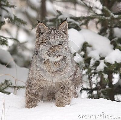Lynx on Snow