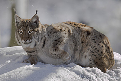 Lynx on the snow