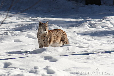 Lynx snow I