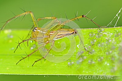 Lynx spider and babies