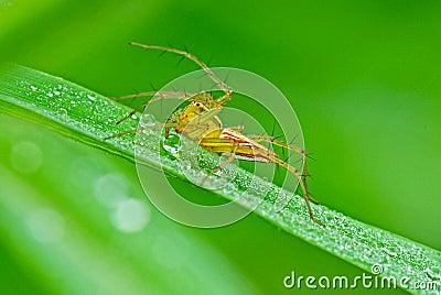 Lynx spider with dews