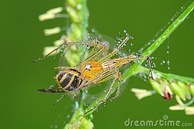 Lynx spider eating a bee in the park