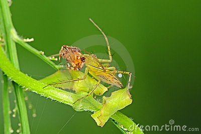 Lynx spider eating a brown legged spider