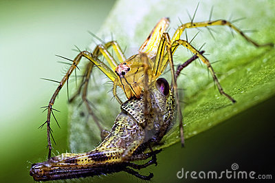Lynx Spider Eating Grass Hopper