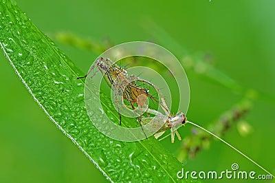 Lynx spider eating a grasshopper