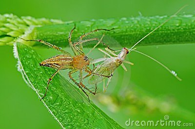 Lynx spider eating a grasshoppers