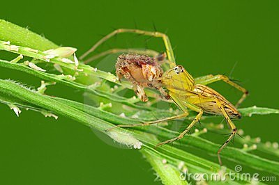 Lynx spider eating an insect