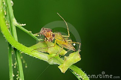 Lynx spider eating an insect in the park