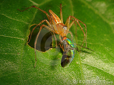 Lynx Spider Eating a Small Iridescent Green Fly
