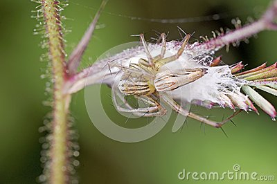 Lynx spider and egg mass