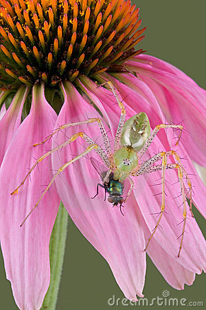 Lynx spider with fly on flower 2