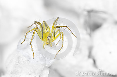 Lynx Spider on the highest swab