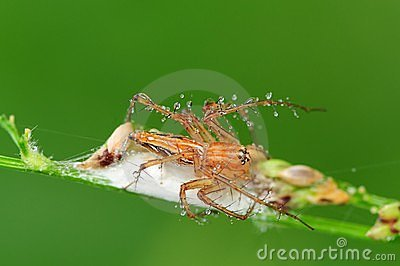 Lynx spider and his nest in the park