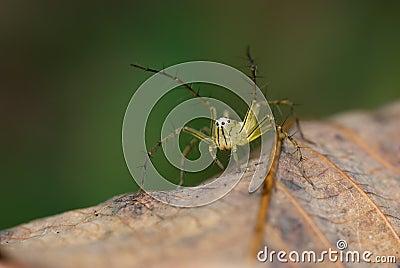 Lynx Spider macro