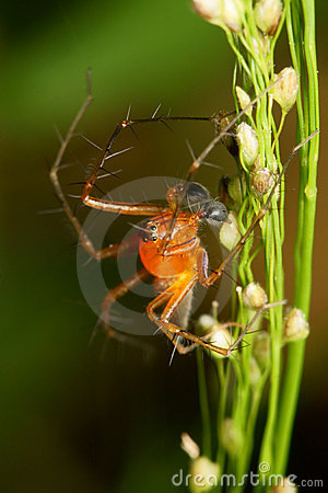 Free Lynx Spider Macro Royalty Free Stock Images - 8034379