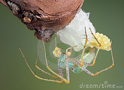 Lynx spider making egg case