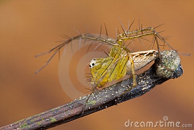 Lynx Spider With Orange Background Stock Images - Image: 9666974