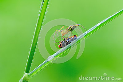 Lynx spider with pery
