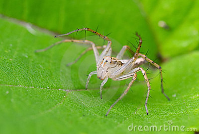 Lynx spider on plant