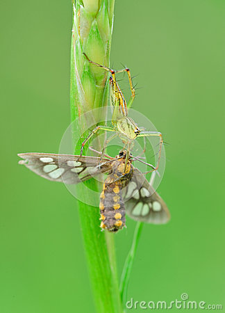 Lynx spider with prey