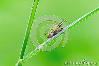 Lynx spider with prey