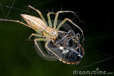 A Lynx spider with prey - a shield bug - on a web