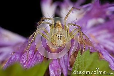 Lynx spider on purple wildflower