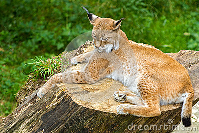 Lynx on a stomp very agile