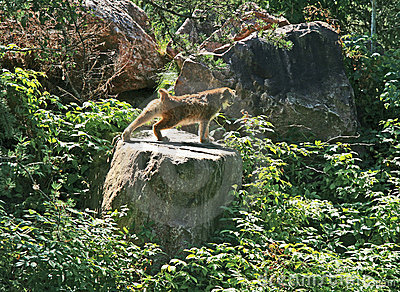 Lynx stretching on a rock