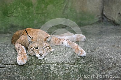 Lynx Sur La Roche Photos stock - Image: 25976633