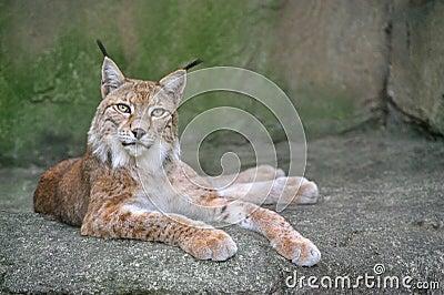 Lynx sur la roche