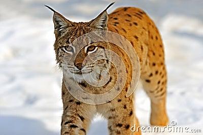 Lynx in their