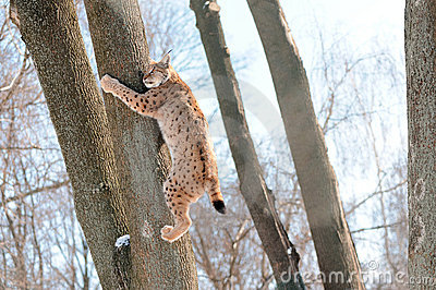 Lynx on the tree