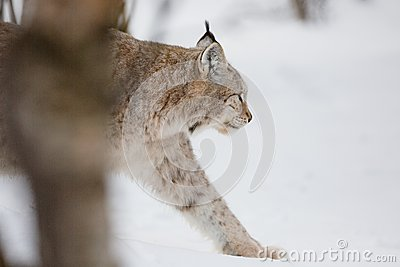 Lynx walking in snow