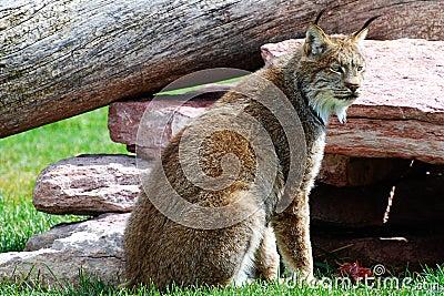 Lynx on the Watch