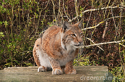 Lynx, wild cat, watching