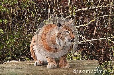 Lynx, wild cat, watching