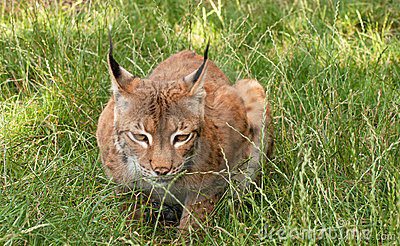 Lynx, wild cat, watching, the camera