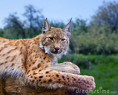 Lynx in wild nature